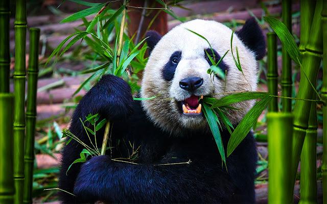 wild-panda