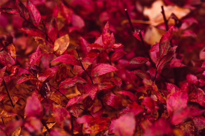 red-leaf-plant